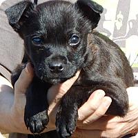 Adopt A Pet :: Rebel (5 lb) Adorable! - Sussex, NJ