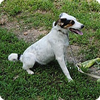 Australian Cattle Dog Mix Dog for adoption in Nanuet, New York - Wilson