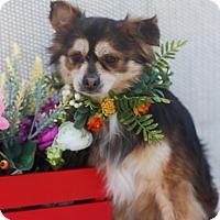 Adopt A Pet :: S'mores - Loomis, CA