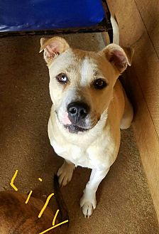 Pit Bull Terrier Mix Dog for adoption in Lawrenceburg, Tennessee - Lily