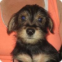Adopt A Pet :: Nicholas - Westport, CT