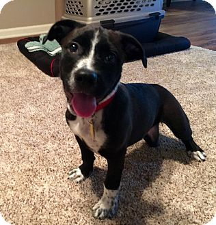 American Pit Bull Terrier Mix Puppy for adoption in Lincoln, California - Freyah