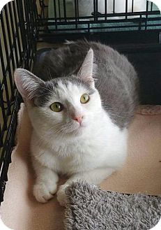 Domestic Shorthair Cat for adoption in Wauconda, Illinois - Pretty Girl