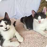 Domestic Shorthair Kitten for adoption in Akron, Ohio - Max and Bob