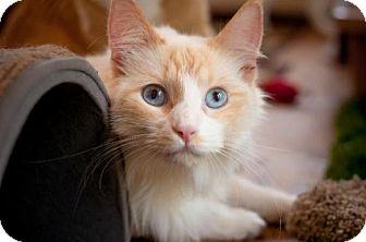 Siamese Cat for adoption in Santa Rosa, California - Skye