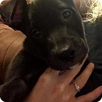 Labrador Retriever/Pit Bull Terrier Mix Puppy for adoption in Dallas, Texas - Piper