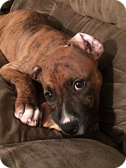 Boxer Mix Puppy for adoption in Normal, Illinois - Cinnamon