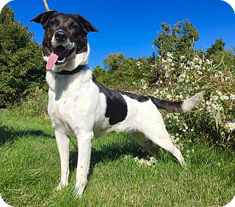 Shepherd (Unknown Type)/Labrador Retriever Mix Dog for adoption in Lafayette, New Jersey - Cheyenne
