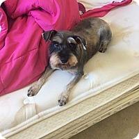 Schnauzer (Miniature) Mix Dog for adoption in Greensboro, North Carolina - Ruby & Lexi