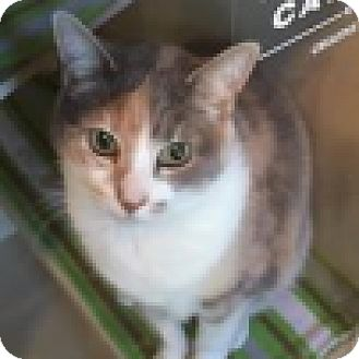 Domestic Shorthair Cat for adoption in Green Bay, Wisconsin - Callie
