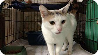 Domestic Shorthair Cat for adoption in Avon, Ohio - Lola