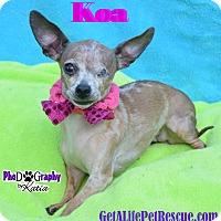 Adopt A Pet :: Koa - Wellington, FL