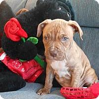 Adopt A Pet :: Braden-7 weeks oldl! - Sheridan, IL
