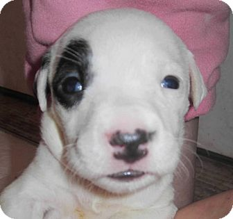 American Pit Bull Terrier Mix Puppy for adoption in Copperas Cove, Texas - Liberty's Carrie