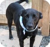Labrador Retriever Mix Dog for adoption in Pineville, North Carolina - Fern