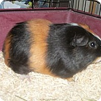 Adopt A Pet :: Steve - San Antonio, TX