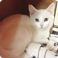 Adopt A Pet :: Snowball - Byron Center, MI