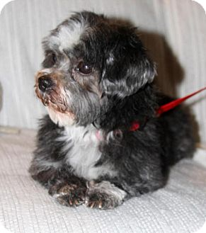 shih tzu mix rescue wayne nj shih tzu mix meet pepper a dog for adoption 7750