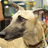 Adopt A Pet :: Joseph - Brandon, FL