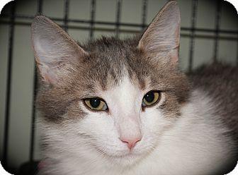 Domestic Mediumhair Cat for adoption in Hamilton., Ontario - Dawson