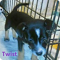 Adopt A Pet :: Twist - House Springs, MO