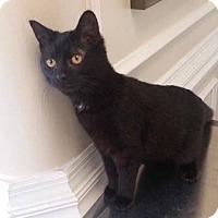 Adopt A Pet :: Raven - Covington, KY