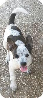 Boston Terrier/Australian Cattle Dog Mix Puppy for adoption in Leming, Texas - Sassy