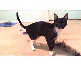 Domestic Shorthair Cat for adoption in Allen, Texas - Pylie