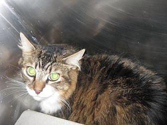 Domestic Longhair Cat for adoption in Roseville, California - Gunner