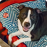 American Staffordshire Terrier Mix Dog for adoption in Long Beach, New York - Freddie