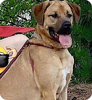 Hound (Unknown Type)/Labrador Retriever Mix Dog for adoption in Alpharetta, Georgia - Whopper