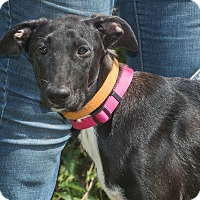 Labrador Retriever Mix Dog for adoption in Elmwood Park, New Jersey - Lulu