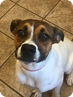 Australian Cattle Dog Mix Dog for adoption in Joplin, Missouri - Winnie Vtg  110030