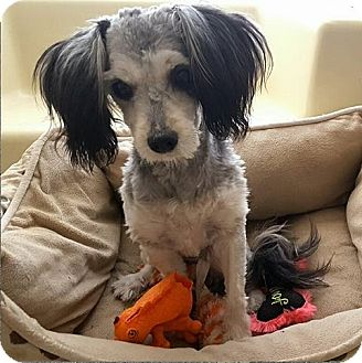 Standard Schnauzer/Poodle (Miniature) Mix Dog for adoption in Campbell, California - Willow