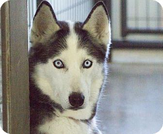 Husky Dog for adoption in Colorado Springs, Colorado - Cheyenne