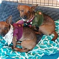 Chihuahua Dog for adoption in West Palm Beach, Florida - Molly