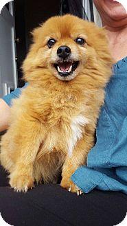 Pomeranian Dog for adoption in Gig Harbor, Washington - Leo - Pending adoption