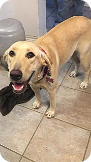 Labrador Retriever Dog for adoption in Fort Worth, Texas - Kendal