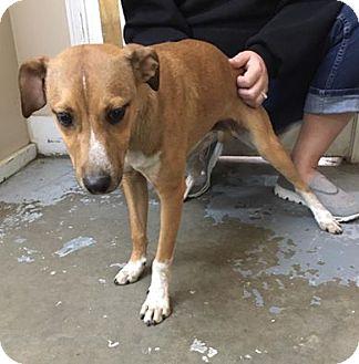 Whippet Mix Dog for adoption in Calhoun, Georgia - 5582