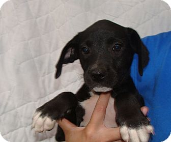 Beagle Mix Puppy for adoption in Oviedo, Florida - Spring