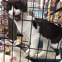 Adopt A Pet :: Cappy - Sacramento, CA