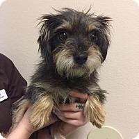 Adopt A Pet :: Binx - Westminster, CA