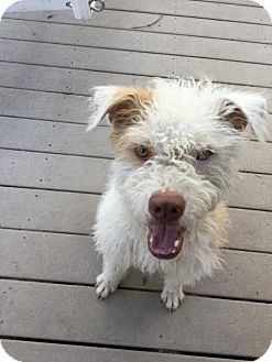 Wheaten Terrier/Bull Terrier Mix Dog for adoption in Fullerton, California - Kevin