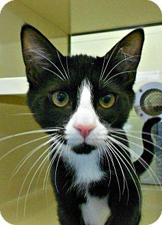 Domestic Shorthair Kitten for adoption in Chesapeake, Virginia - M & M