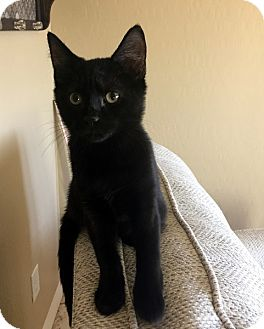 Domestic Shorthair Kitten for adoption in North Las Vegas, Nevada - Opal