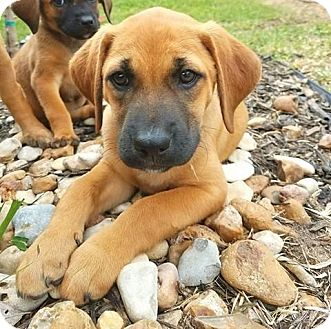 Black Mouth Cur Mix Puppy for adoption in Fort Atkinson, Wisconsin - Farrah