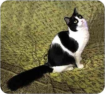 Domestic Longhair Cat for adoption in West Los Angeles, California - Cooper