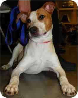 Pointer/Bull Terrier Mix Dog for adoption in Loudonville, New York - Fred