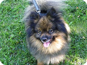 Pomeranian Dog for adoption in Hesperus, Colorado - Aatu