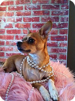 Chihuahua Dog for adoption in Chicago, Illinois - Mimi
